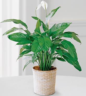 ... Is One Of The Best Flowers To Grow In An Apartment Because It Survives  Surprisingly Well With Low Levels Of Light, Giving It The Nickname U201cCloset  Plant.