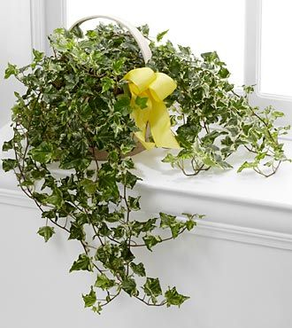 FTD Solace Ivy Planter