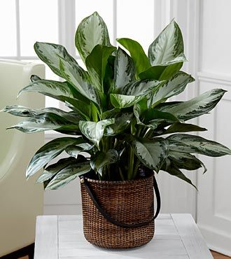 Chinese Evergreen Plant by FTD
