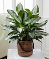 Image of Standard version for Chinese Evergreen Plant by FTD