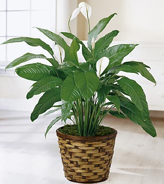 Spathiphyllum Plant by FTD - C28-4893