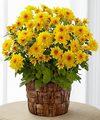 Ftd Chrysanthemum