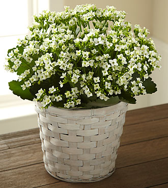 Flowers Fast coupon: FTD White Kalanchoe