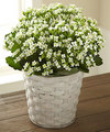 Image of Standard version for FTD White Kalanchoe