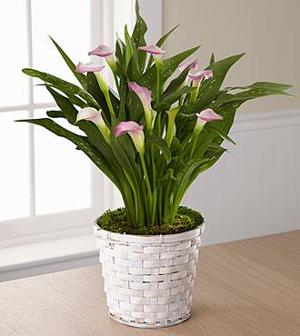 http://www.shareasale.com/r.cfm?u=1264847&b=129801&m=17992&afftrack=&urllink=flowersfast%2Ecom%2Fftd%2Dcalla%2Dlily%2Dplanter%2Ehtml