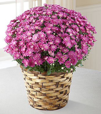 FTD: Devotion Pink Mum