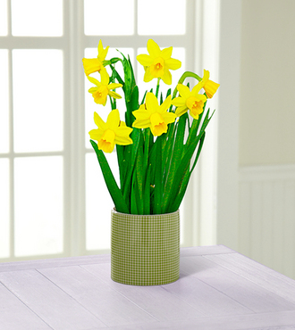 Bring on Spring Daffodil Plant - FedEx