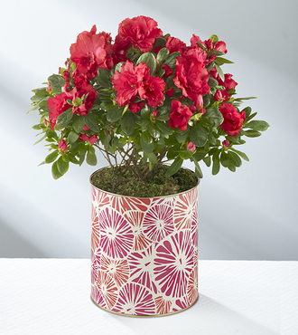 About Bloomin' Time Spring Azalea - Deluxe - FedEx