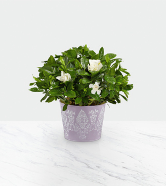 Potted Fragrant Gardenia - FedEx - WGP1177