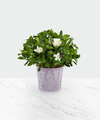 Image of Standard version for Potted Fragrant Gardenia - FedEx