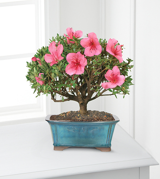 Blooming Azalea Bonsai - 8 inch - FedEx