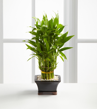 Double Lucky Pyramid Bamboo - FedEx