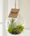 Image of Standard version for Just for You Hanging Air Plant - FedEx
