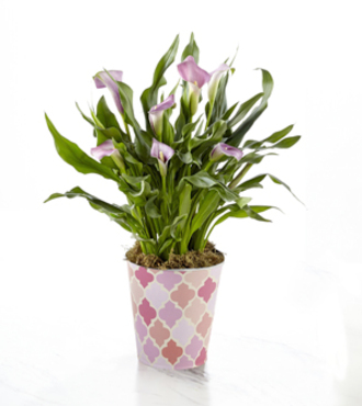 Just for Mom Mother's Day Calla Lily Plant - FedEx