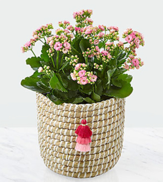 Mom = Love Mother's Day Kalanchoe - FedEx