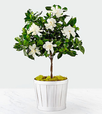 Pure and Simple Gardenia Topiary - FedEx - WGP1351