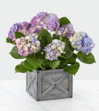 Potted Blue Hydrangea - FedEx - WGP1395