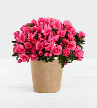 Hot Pink Azalea Plant - FedEx - WGP1452