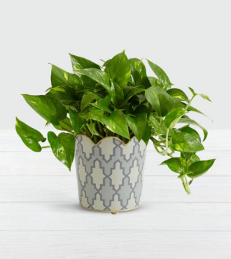 Golden Pothos Tabletop Plant - FedEx