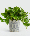 Image of Standard version for Golden Pothos Tabletop Plant - FedEx