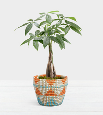 Braided Money Tree - FedEx - WGP1602