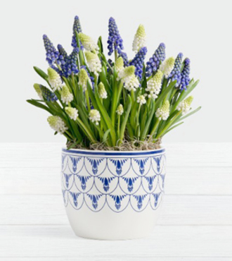 Flowers Fast coupon: Blue and White Magic Muscari Bulb Garden - FedEx