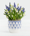 Image of Standard version for Blue and White Magic Muscari Bulb Garden - FedEx