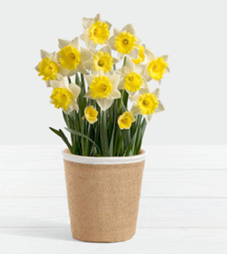 Daffodil Attraction Bulb Garden - FedEx - WGP1675