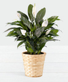 Image of Standard version for Lush Tropical Peace Lily - FedEx