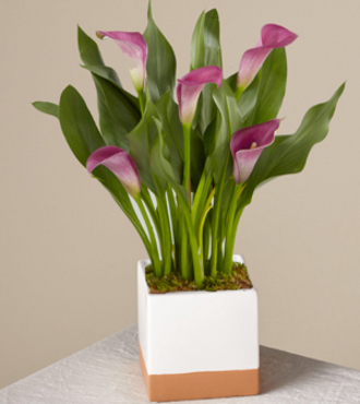 Purple Calla Lily - FedEx - WGP2107