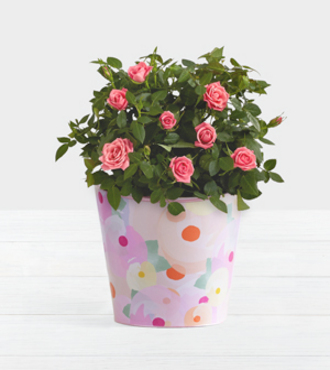 http://www.FlowersFast.com - Pretty In Pink Rose Plant – FedEx