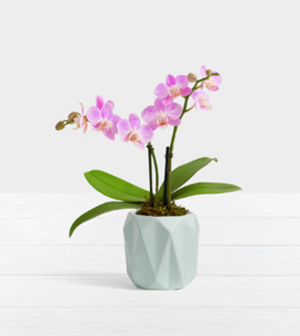 Pink Mini Orchid - FedEx