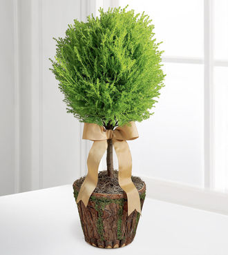 New Heights Lemon Cypress Topiary - FedEx