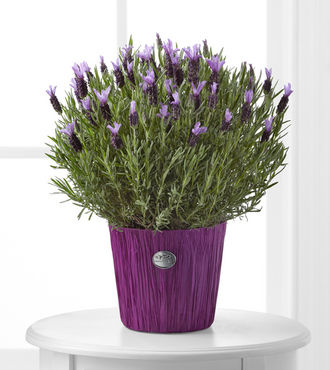 Soothing Lavender Plant - FedEx