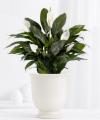 Serene Peace Plant - FedEx