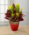 Pure Autumn Croton Plant - FedEx