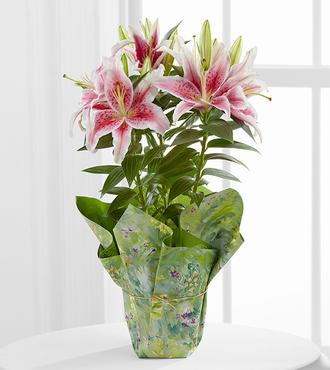 Sweet Stargazer Lily Plant - FedEx