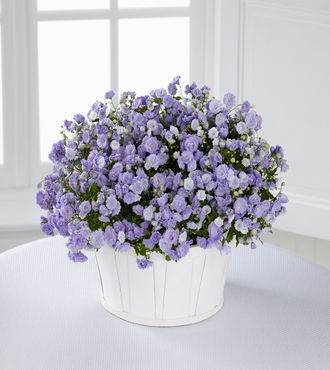 Essence of Spring Campanula Plant - FedEx