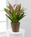 Autumn Elegance Calla Lily Plant - FedEx