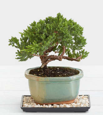 Juniper Bonsai - FedEx - WGP944