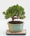 Image of Standard version for Juniper Bonsai - FedEx