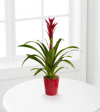 Paradise Blooms Bromeliad Plant - FedEx