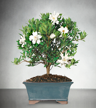 Blossoming Abundance Gardenia Bonsai - 8-inch - FedEx