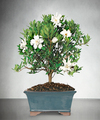 Image of Blossoming Abundance Gardenia Bonsai 8 inch - FedEx