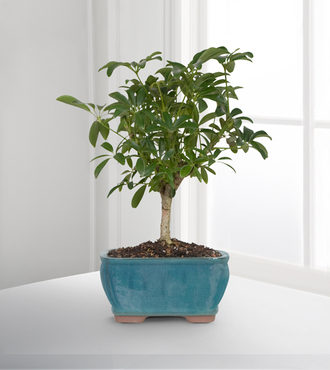 Dwarf Hawaiian Umbrella Tree Bonsai - FedEx - WGPB22