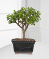 Image of Standard version for Dwarf Jade Bonsai - FedEx
