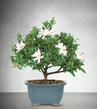 Blossoming Abundance Gardenia Bonsai - 6 inch - FedEx