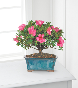 Blooming Azalea Bonsai - 10 - FedEx