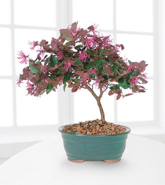 Fringe Flower Bonsai - FedEx