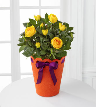 Celebration Starter Birthday Mini Rose Plant - FedEx